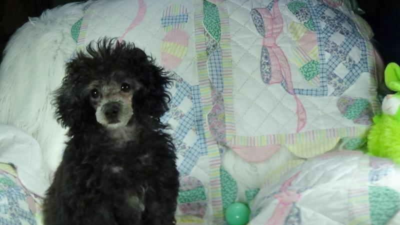 Wadley AL Poodle Breeder & Poodle Puppies | Marilynns Little Red Toy
